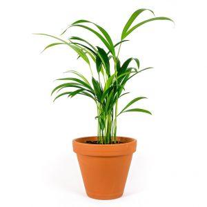 Chrysolidocarpus
