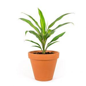 Cordylene fruticosa