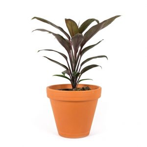 Cordylene fruticosa red