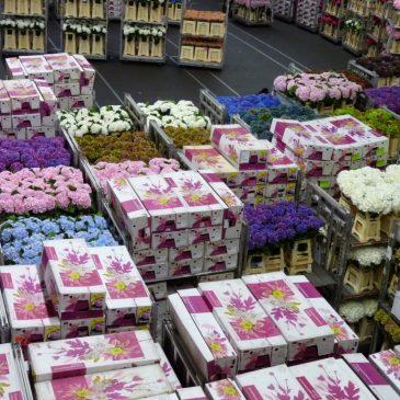 FloraHolland aneb miliony květin v pohybu