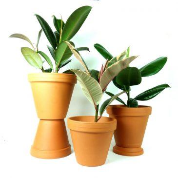 Ficus elastica, věrný společník co nemá rád změny